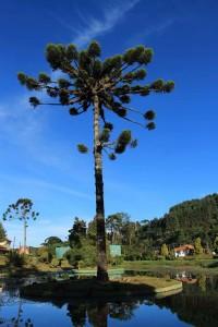 Campos-do-Jordao-Meio-Ambiente-Araucaria-1bx