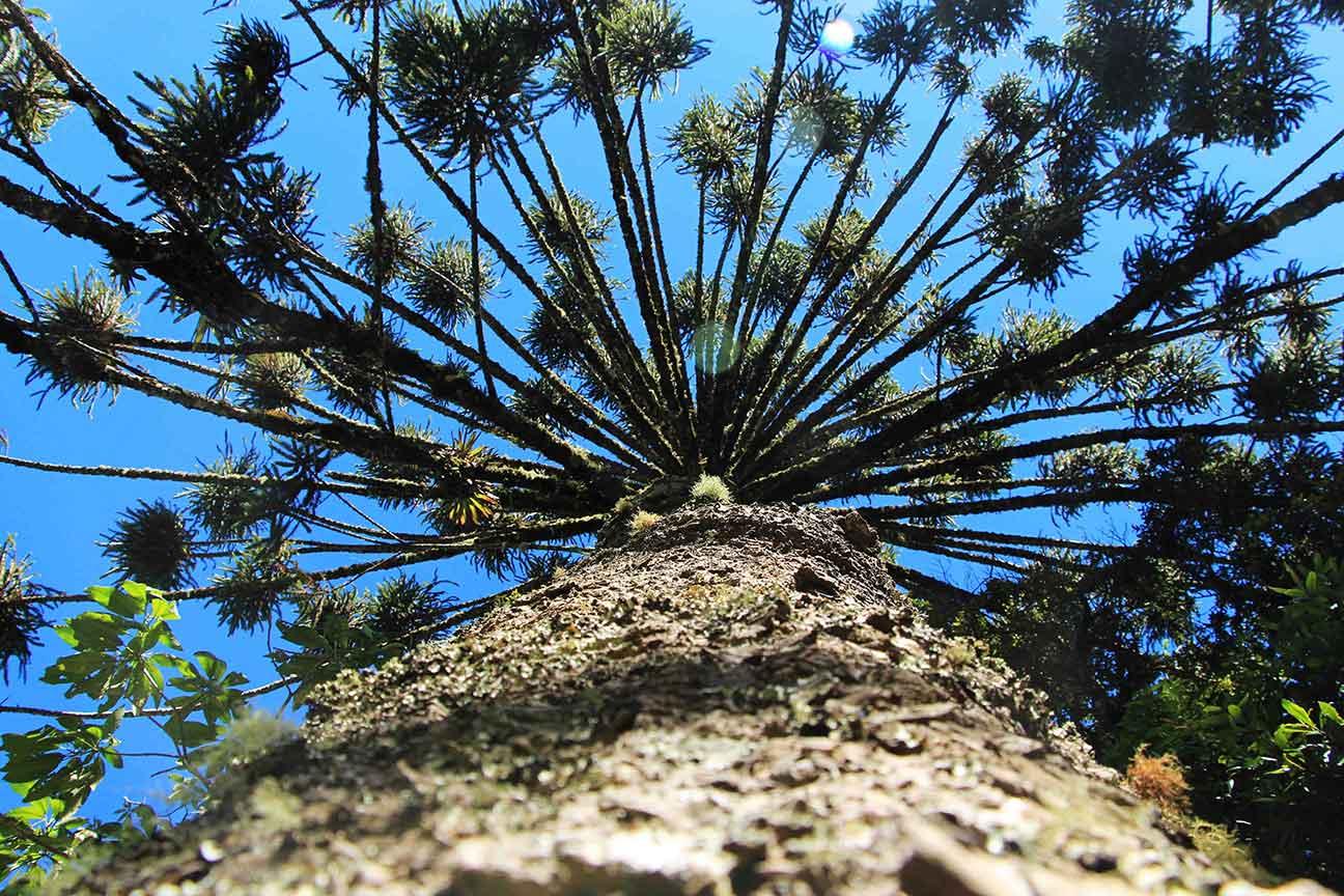 Campos-do-Jordao-Meio-Ambiente-Araucaria-bx