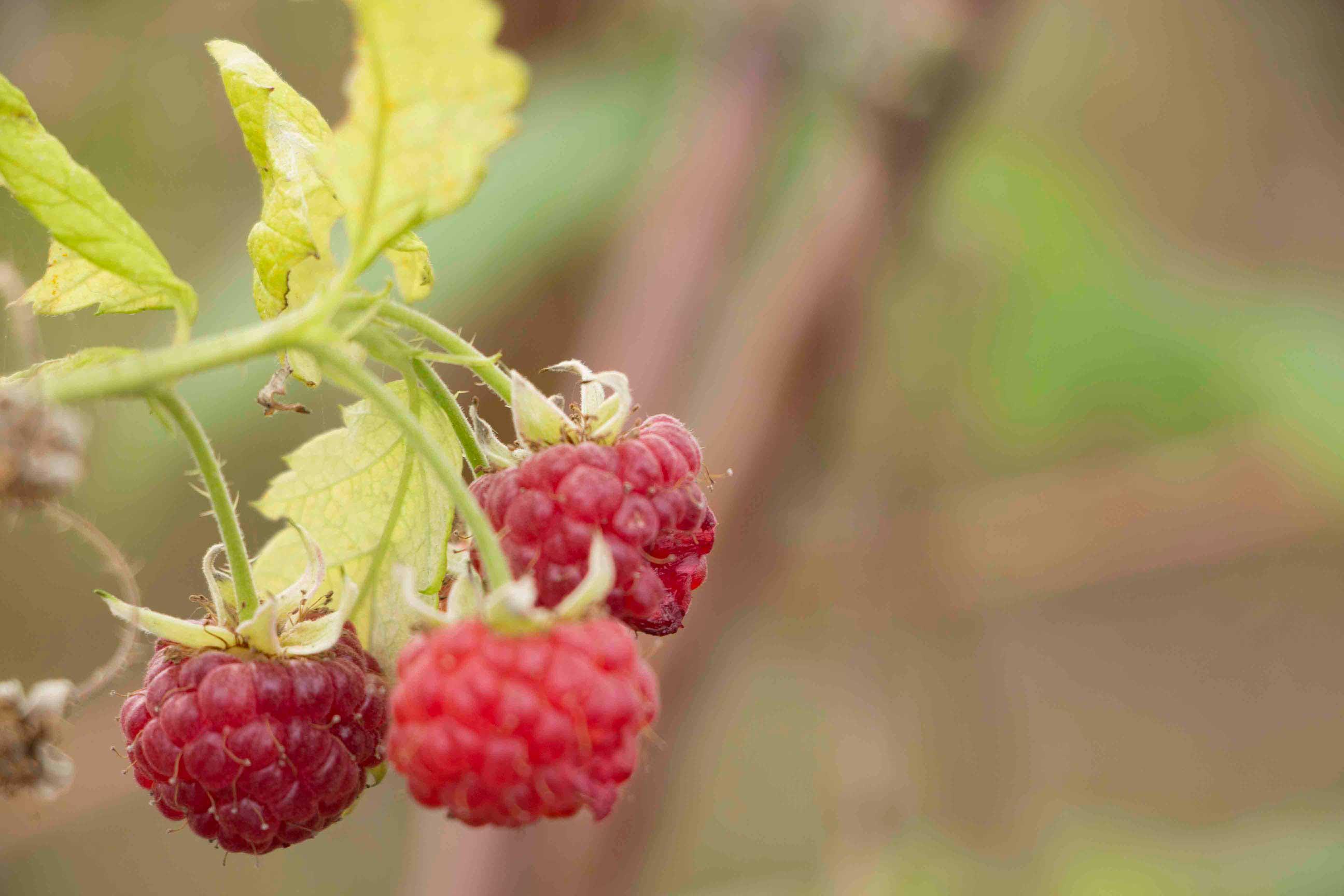 Campos-do-Jordao-Turismo-Rural-Fazenda-Saint-Clair-frutas-vermelhas-IMG_9115-bx