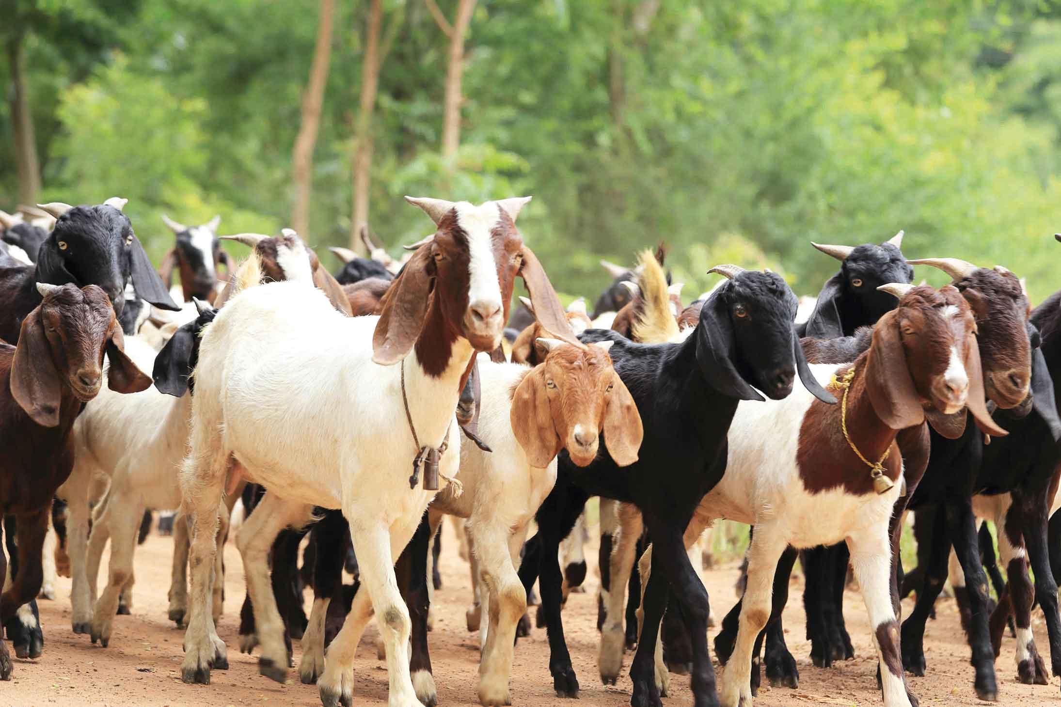 Pindamonhangaba-Turismo-Rural-Cabras-shutterstock_156118109-bx