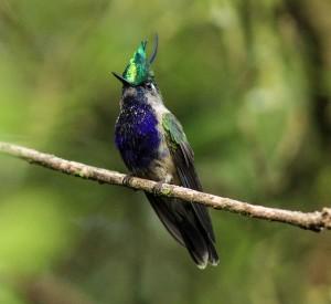 Serra-da-Mantiqueira-meio-ambiente-passaros-beija-flor-de-topete-bx
