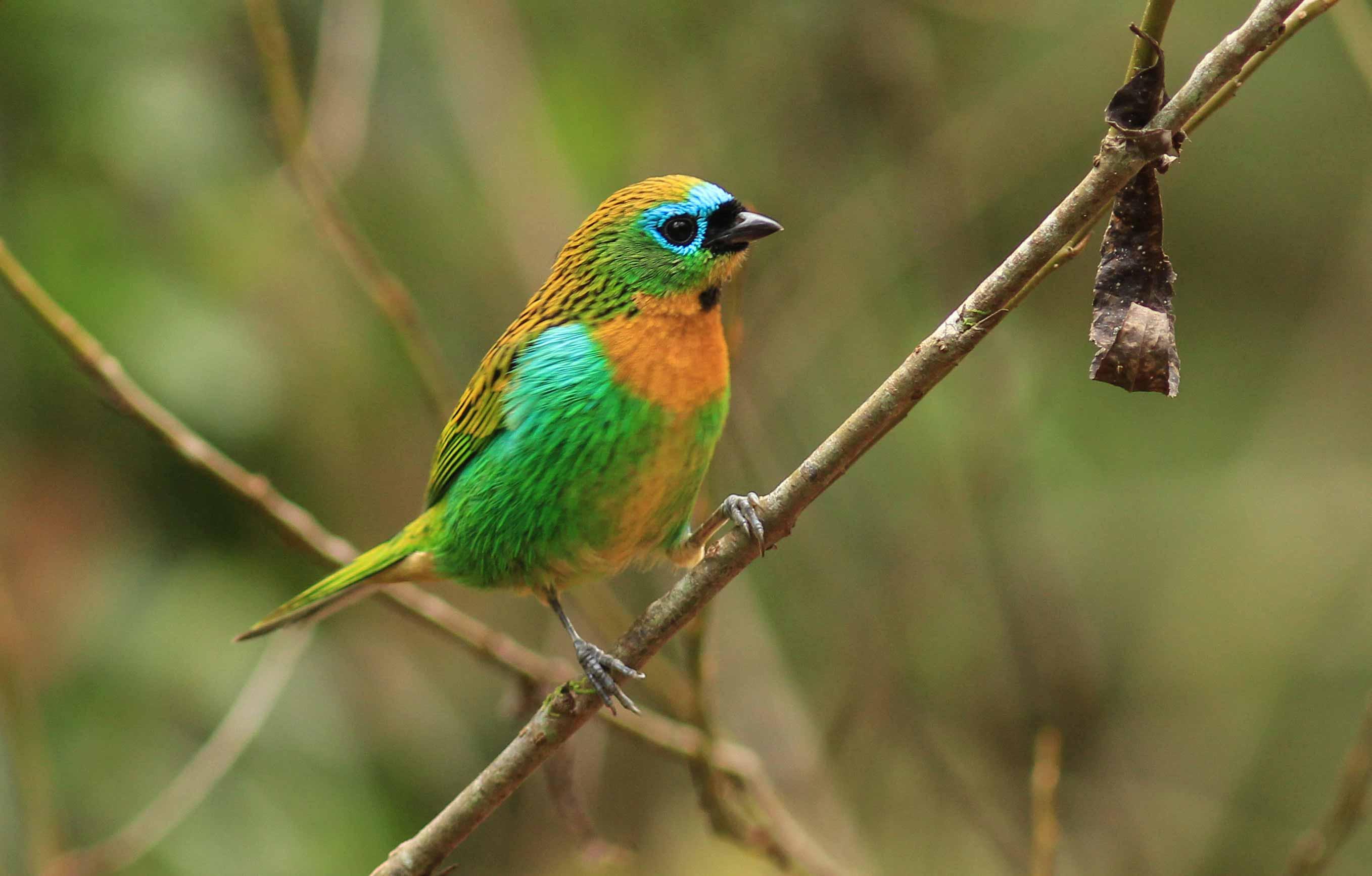 Serra-da-Mantiqueira-meio-ambiente-passaros-saira-lagarta-bx