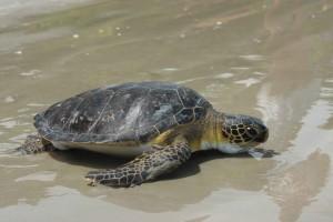 Ubatuba-turismo-ecologico-projeto-tamar-169-bx