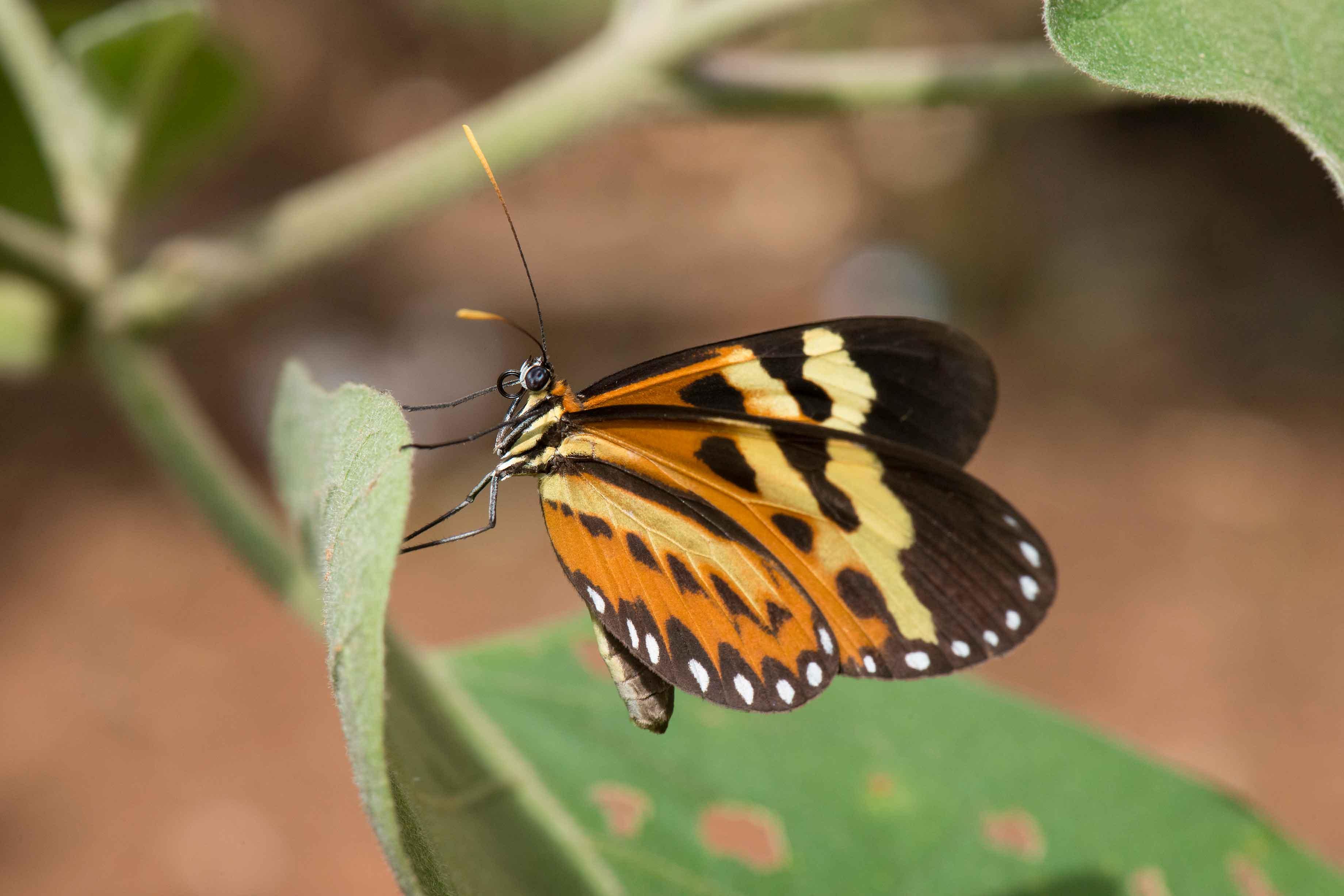 Roberto-Torrubia-borboleta