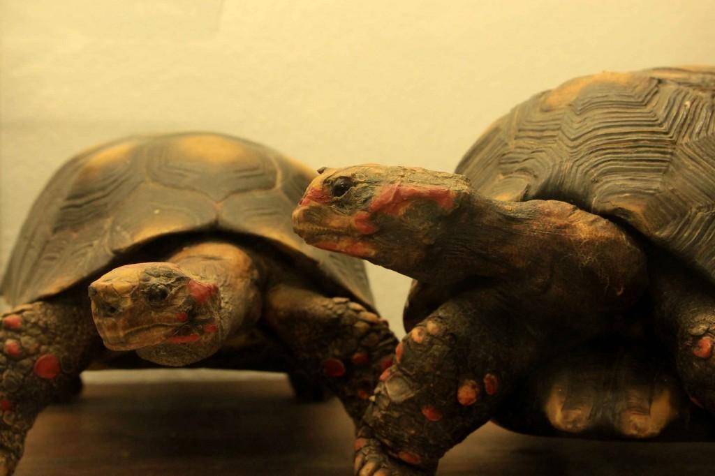 Museu de História Natural de Atibaia-Jaboti-bx