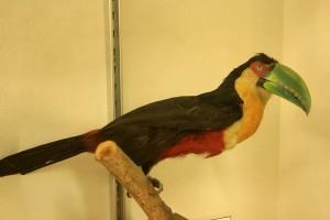 Museu de História Natural de Atibaia-Tucano-de-bico-verde-bx