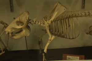 Museu de História Natural de Atibaia-Atibaia-Museu-Historia-Natural-esqueleto-de-porco-IMG_7043-bx
