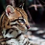 Costa-da-Mata-Atlantica-Meio Ambiente-Fauna-Jaguatirica-Shutterstock-bx