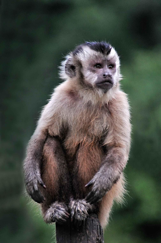 Costa-da-Mata-Atlantica-Meio Ambiente-Fauna-Macaco-Prego- MPiffer-bx