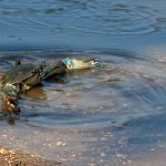 Costa-da-Mata-Atlantica-Meio Ambiente-Fauna-siri-azul-bx