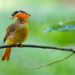 Pássaros da Mata Atlântica