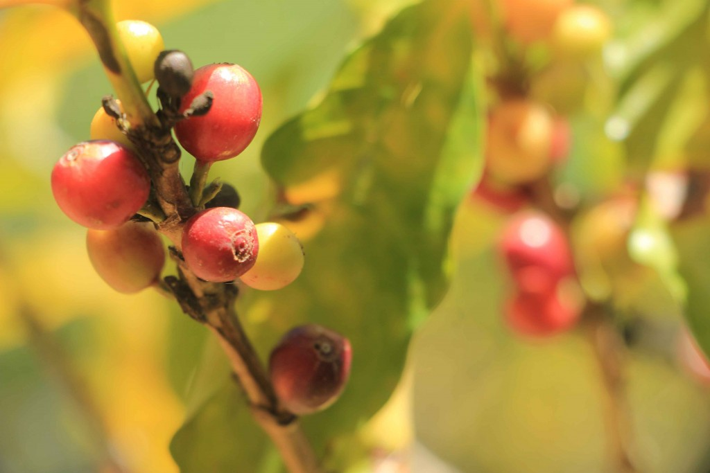 Itatiba-historia-cafe-Tupi-Coffea-arabica-2-bx