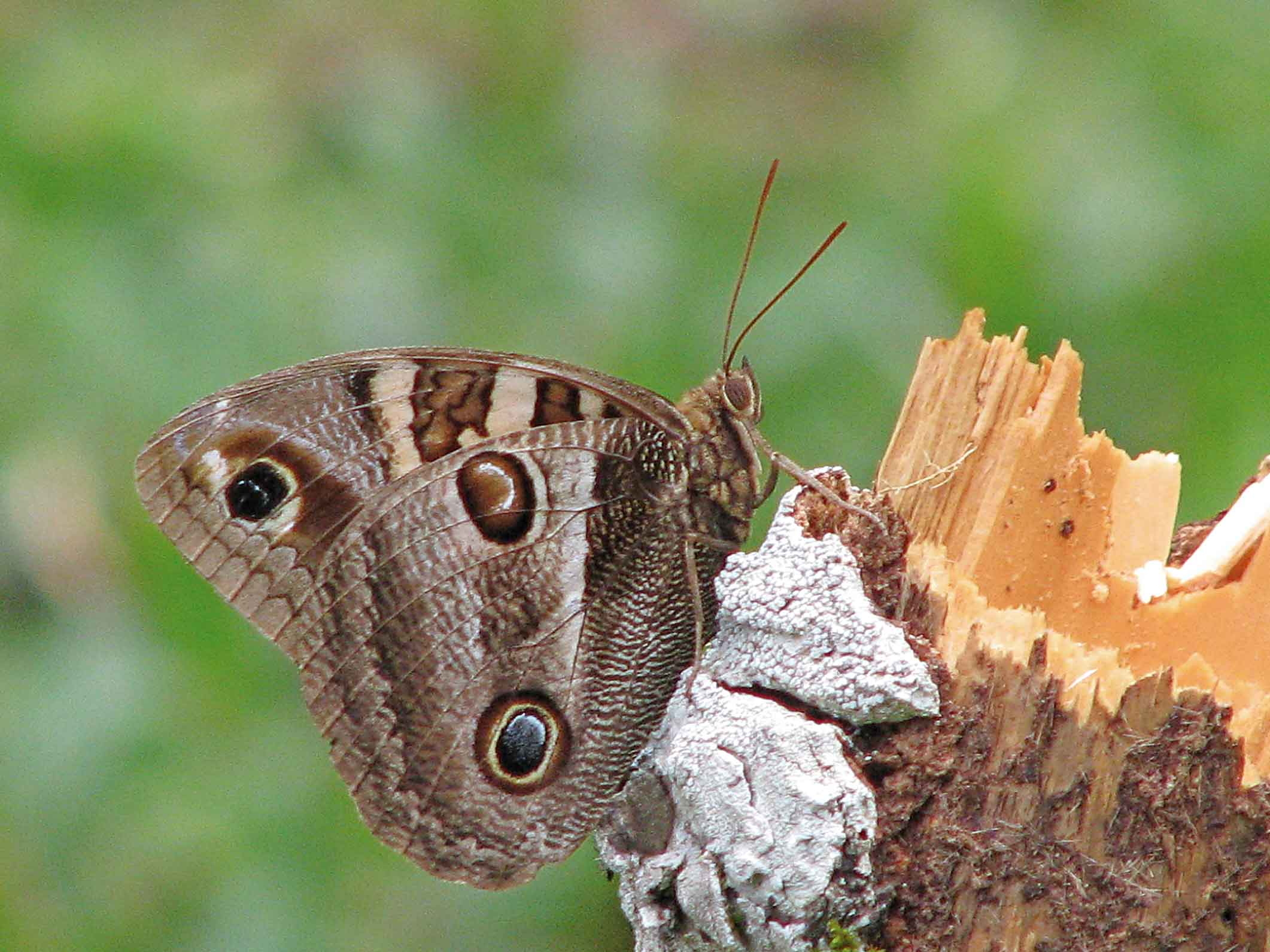 Mantiqueira-Meio-Ambiente-Borboletas-Blepolenis-Batea-Lino-Matheus-bx