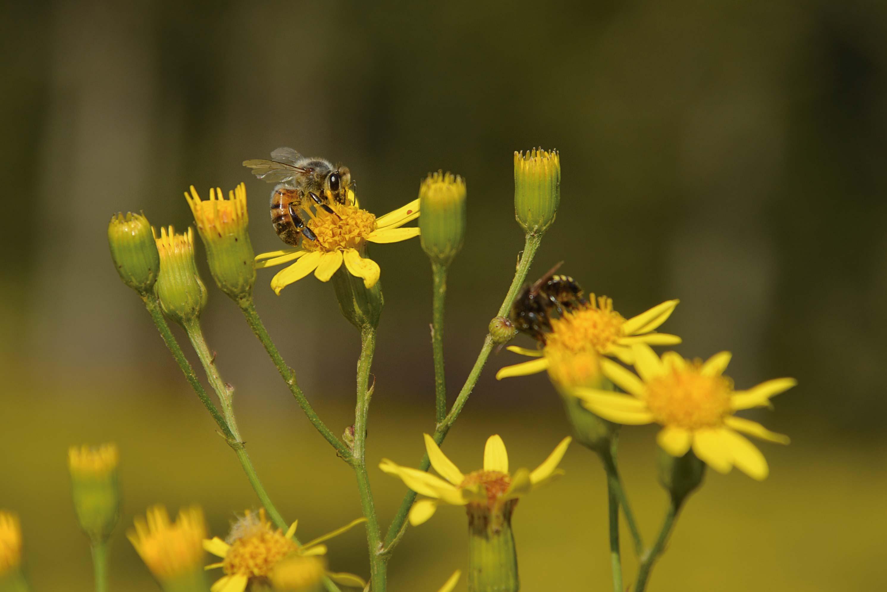 Mantiqueira-Meio-Ambiente-abelha-Roberto-Torrubia-bx