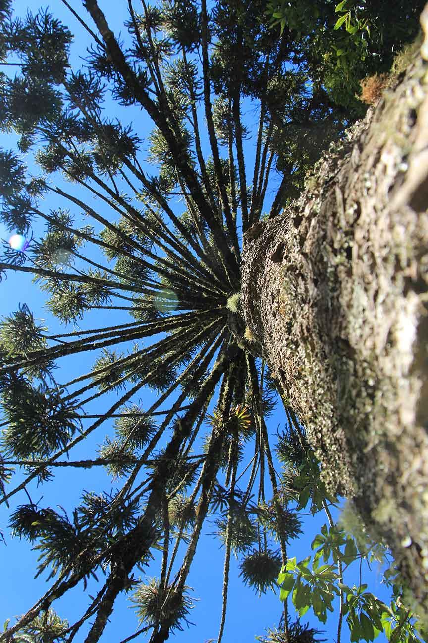 Mantiqueira-Meio-Ambiente-araucaria- IMG_1137-bx