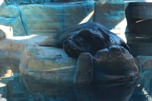 Aquário Municipal de Santos-Turismo-aquario-lobo-marinho-abare-IMG_5169-bx