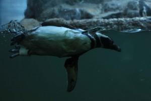 Aquário Municipal de Santos-Turismo-aquario-pinguin-de-magalhaes-IMG_5131-bx
