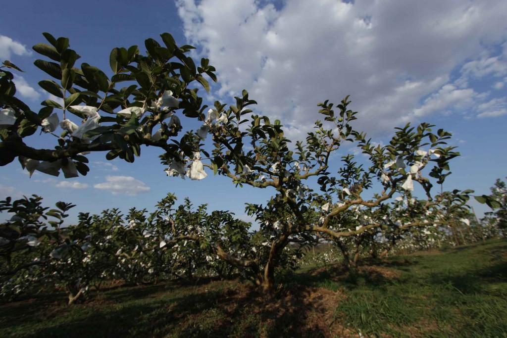 Sítio Kusakariba-Valinhos-turismo-rural-sitio-kusakaribe-plantacao-goiaba-frutas-bx