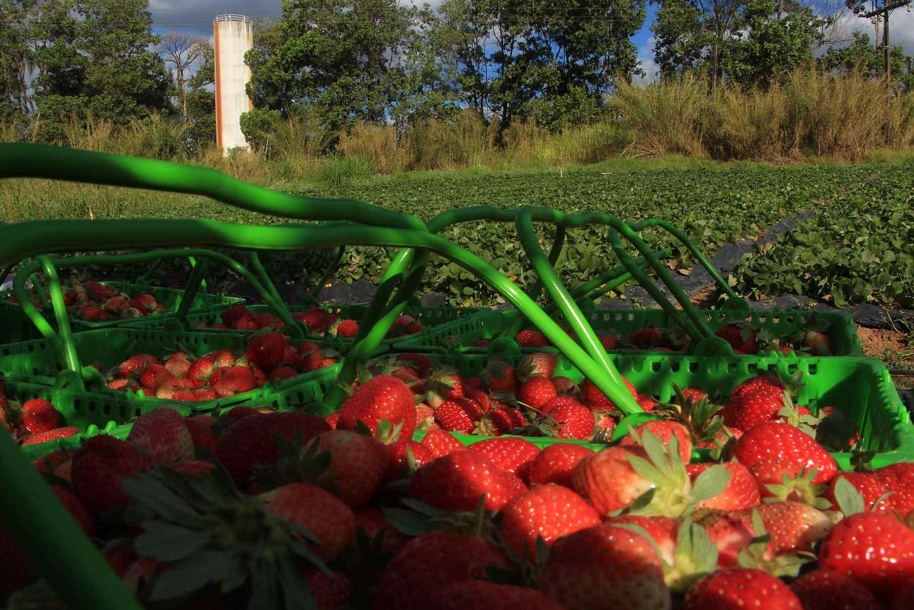 Frutas no Circuito das Frutas-atibaia-frutas-plantacao-colheita-morango-IMG_0447-bx