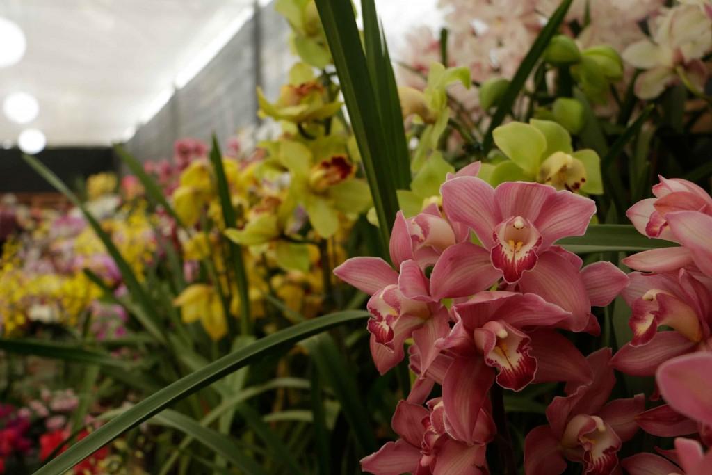 Orquídeas no Circuito das Frutas-atibaia-turismo-festa-flores-orquideas-Marcio-Masulino-_MG_0343-bx