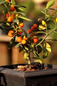 Bonsai em Atibaia-atibaia-turismo-rural-flores-bonsai-ft-Marcio-Masulino-IMG_8009-bx