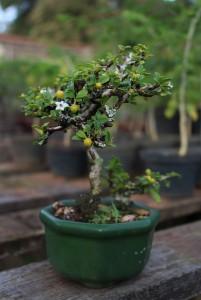 Bonsai em Atibaia-atibaia-turismo-rural-flores-bonsai-ft-Marcio-Masulino-IMG_8033-bx