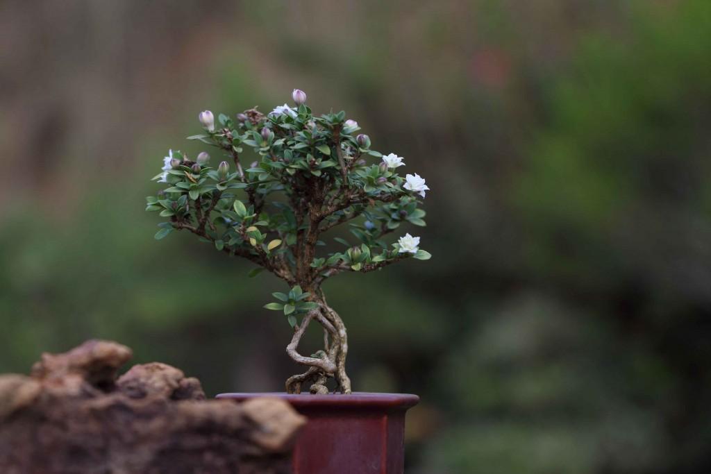 atibaia-turismo-rural-flores-bonsai-ft-Marcio-Masulino-IMG_8044-bx