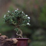 A arte do Bonsai – Atibaia