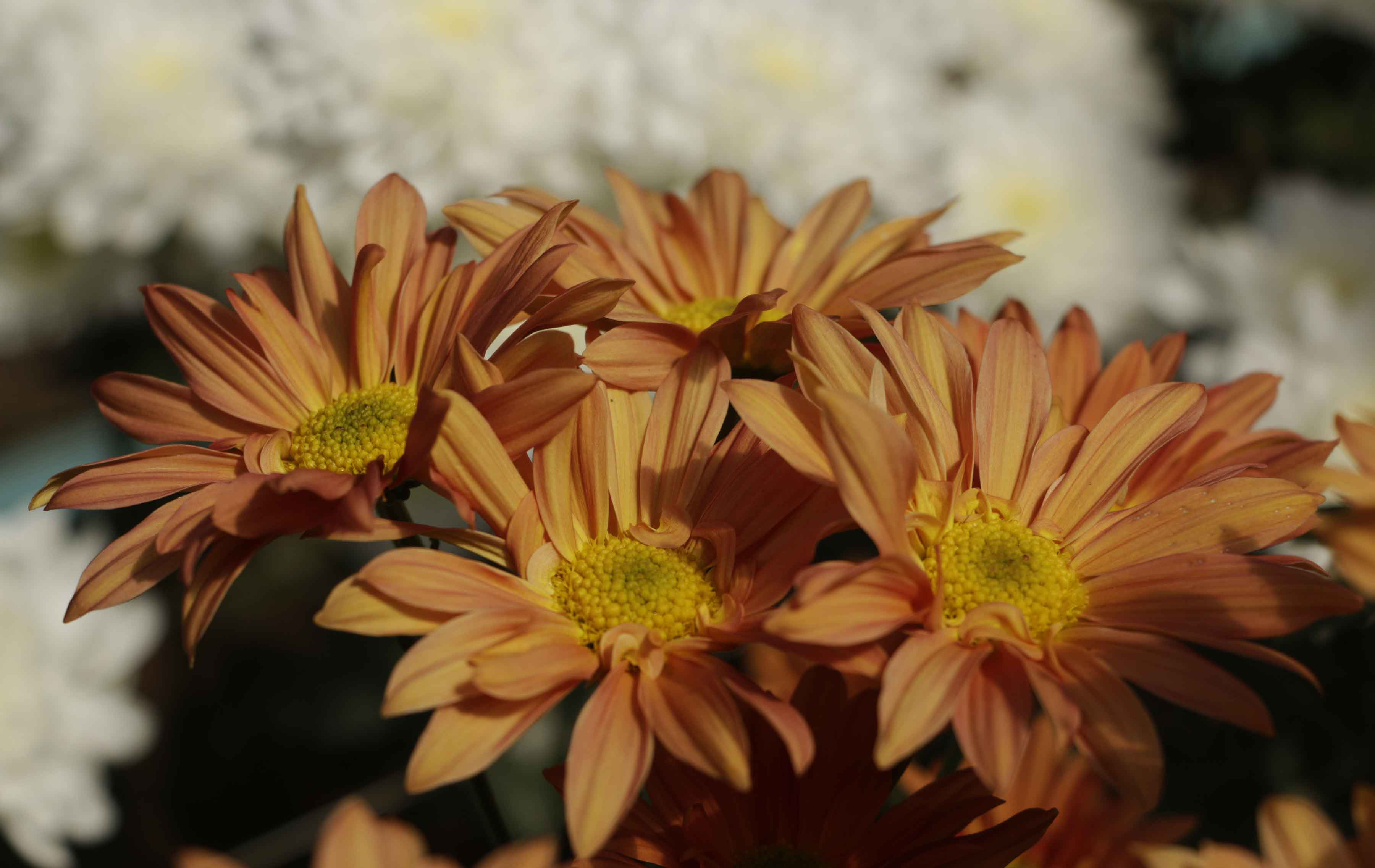 Crisantemos no Sítio Santa Virginia