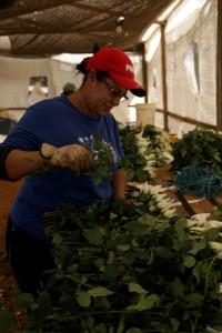 Manuseio de buquês de rosas para venda em atacado - Sítio Santa Virgínia