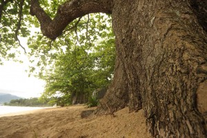ilhabela-meio-ambiente-vegetacao-arvore-287-bx