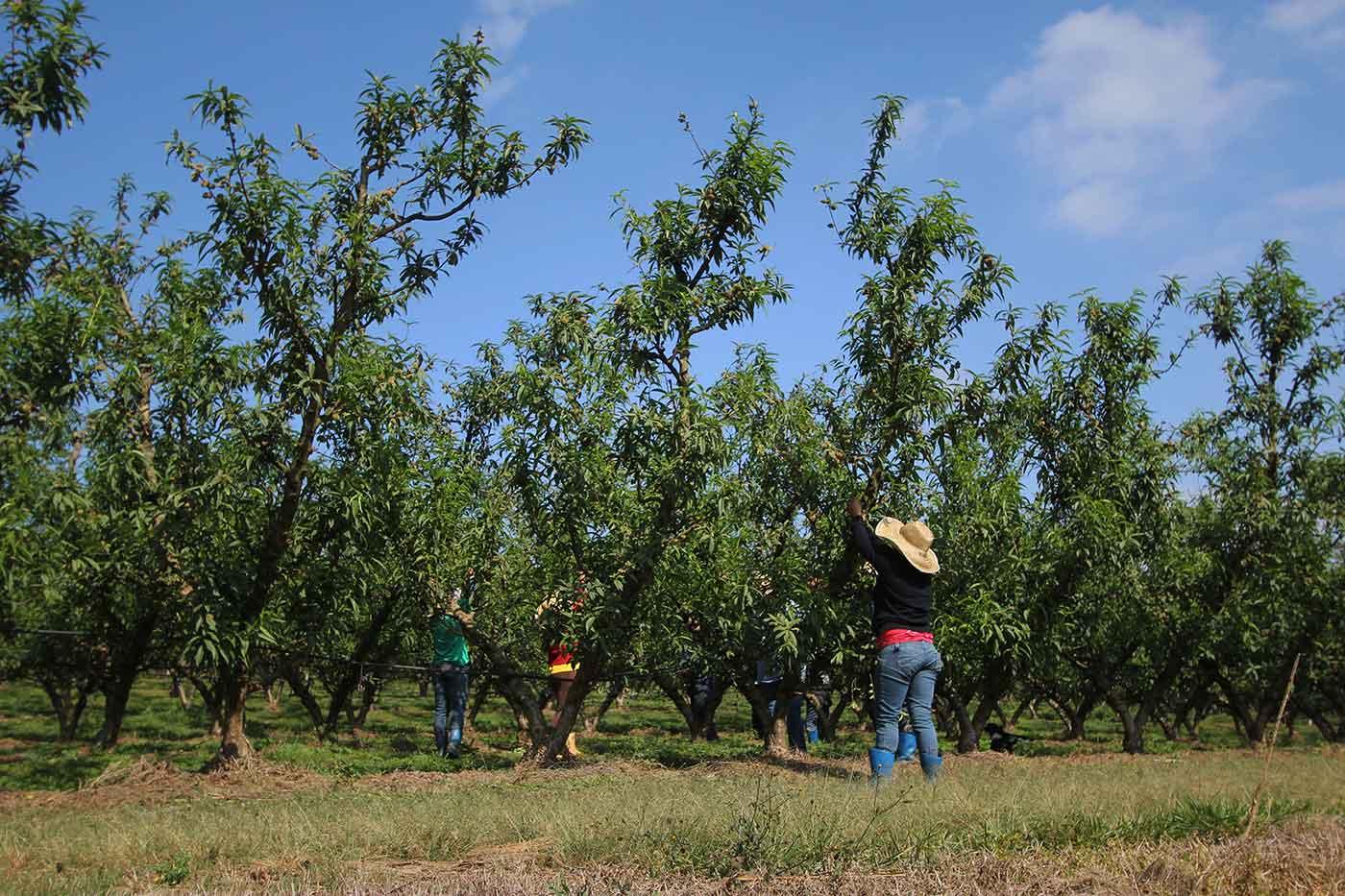 jarinu-frutas-plantacao-pessegos-5-bx
