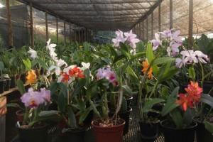louveira-flores-orquidario-dos-anjos-IMG_9198-bx