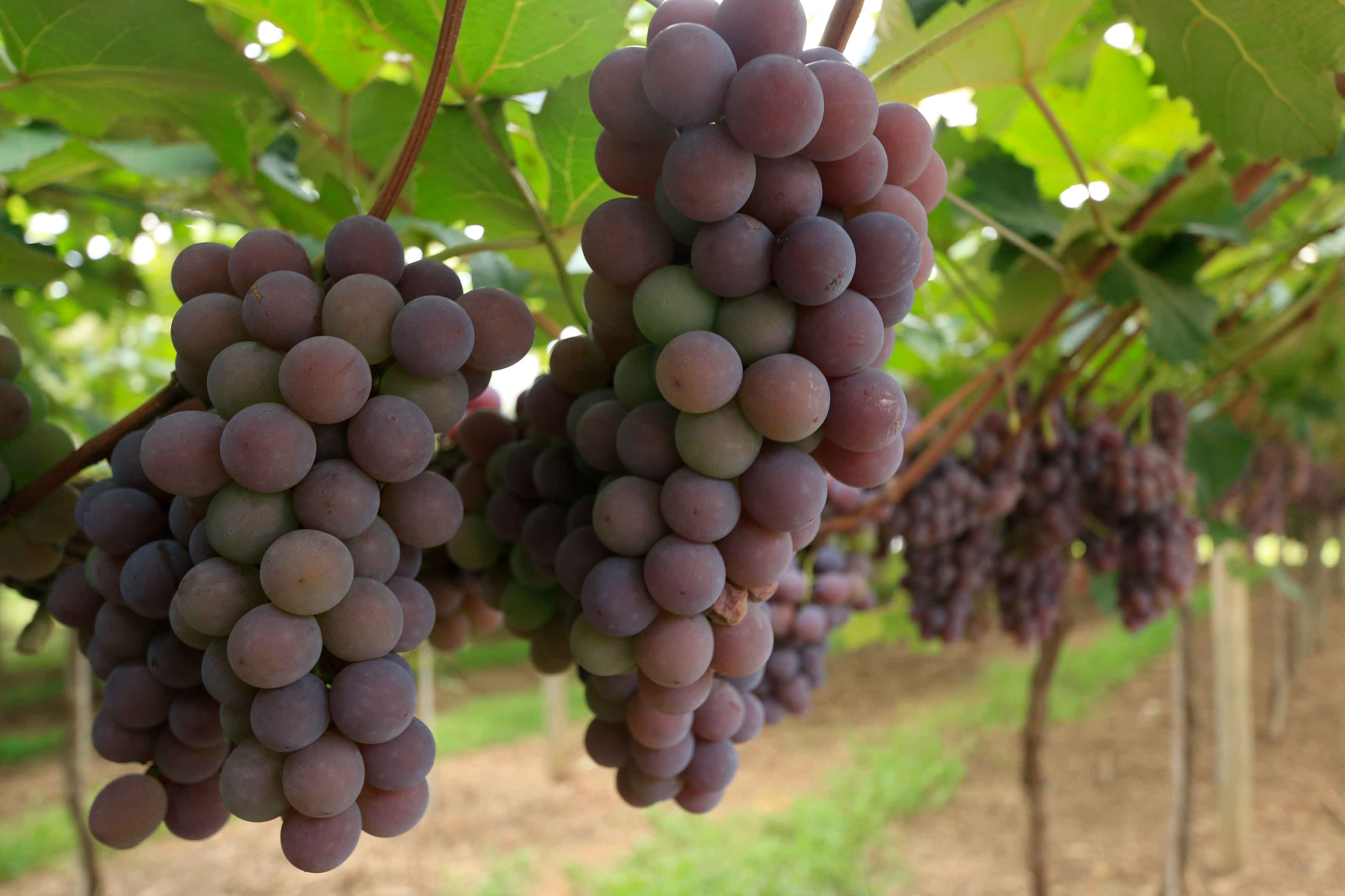 louveira-turismo-rural-plantacao-frutas-uvas-_MG_2390-bx