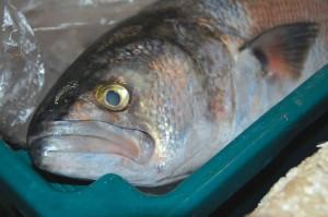 sao-sebastiao-pesca-peixe-DSC_0081-bx