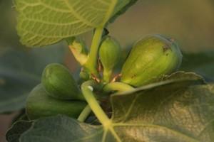 valinhos-frutas-plantacao-figo-sitio-kusakariba-IMG_8710-bx