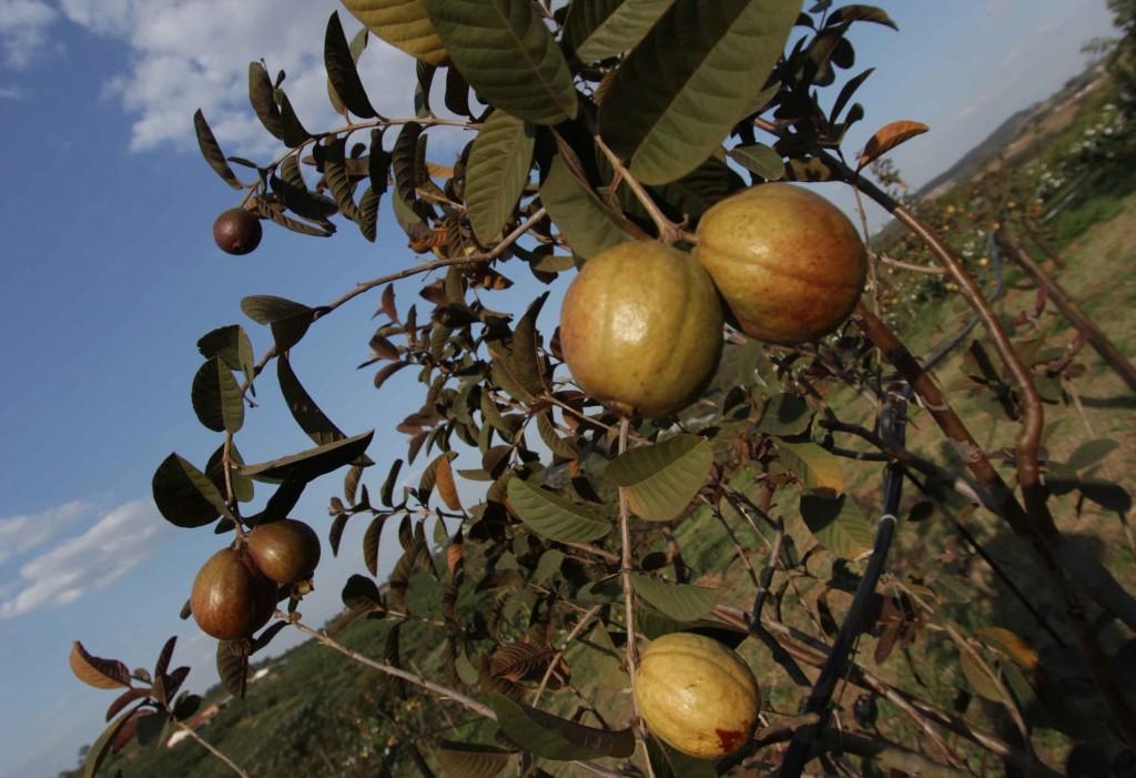 Frutas no Circuito das Frutas-valinhos-frutas-plantacao-goiaba-roxa-sitio-kusakariba-_8666X-bx