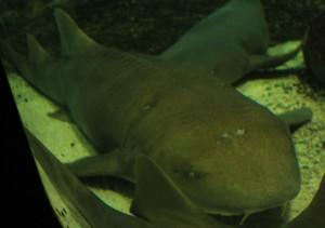 Tubarão lixa - encontrado em águas rasas tropicais, se alimenta de moluscos, crustáceos e peixes