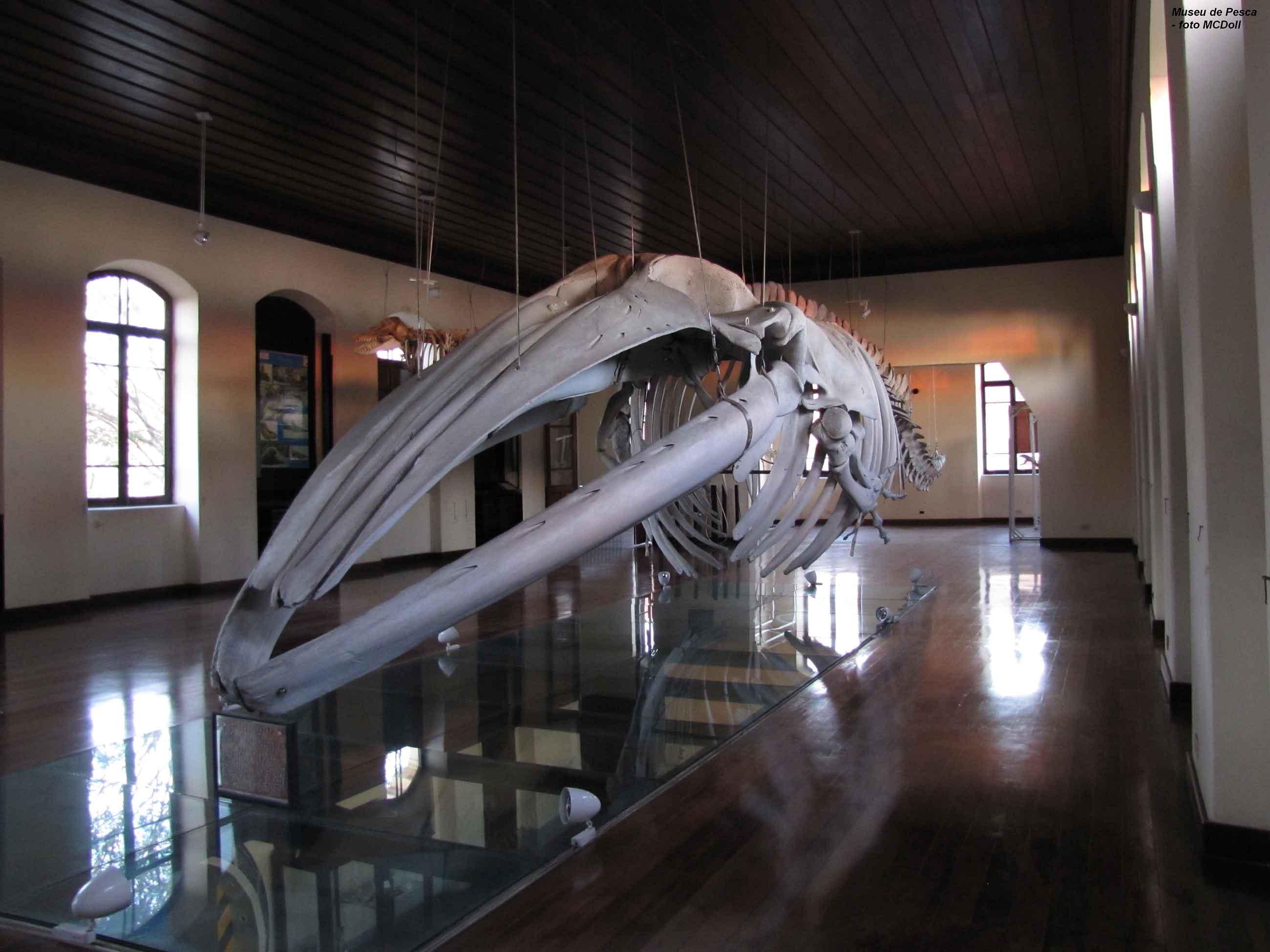 Esqueleto de baleia no Museu do Instituto de Pesca