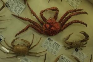 Centolla-caranguejo originário da Patagônia (Chile). É encontrada em até 150 metros de profundidade