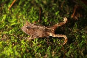 Sapo de chifre – endêminco do Brasil, encontrado na serrapilheira