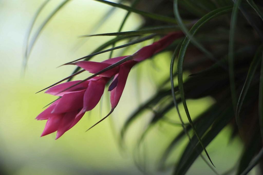 Fauna e Flora de Santos - Bromélia