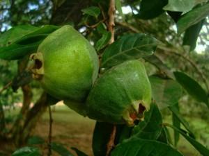 Rio-Santos-aromas-sabores-campomanesia-phaea-Cambuci-X-bx