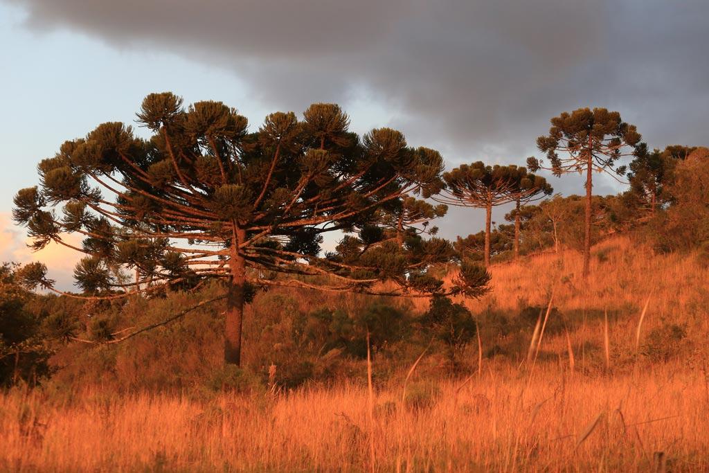 Araucária, espécie arbórea dominante nas Serras - Foto Márcio Masulino