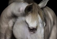 Escola Portuguesa de Arte Equestre-cavalo lusitano